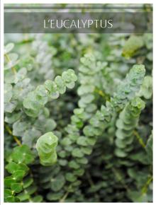 euca petites feuilles