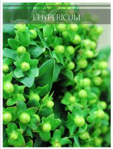 hypericum vert