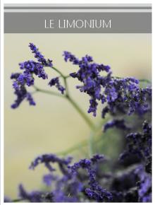 limonium bleu