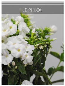 phlox blanc