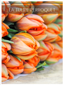 tulipe perroquet orange