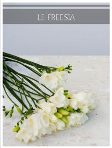 freesia blanc