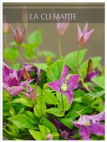 clematite violet