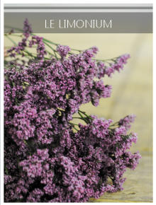 limonium mauve