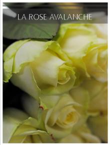 rose avalanche