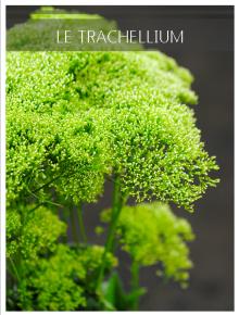 trachellium blanc